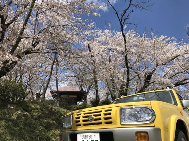 ラシーン 桜